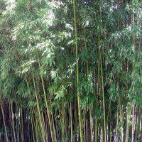 vendo cañas de bambu tacuaras en pie