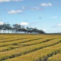 Se alquilan yerbales y teales en produccion en la zona de Jardin America