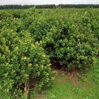 Busco cuadrilla de tareferos para levantar cosecha de yerba mate en J.America y Wanda