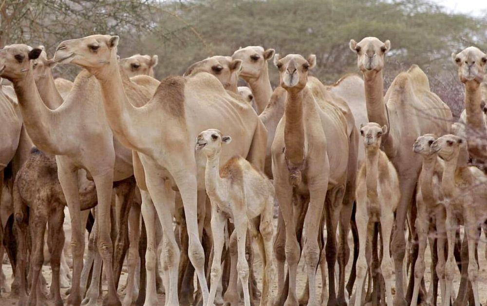 Comenzó la matanza de camellos en Australia — Indignante